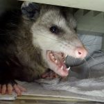 Opossum removed from a garage. Salinas.