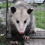 Mother opossum released from an illegally set trap. Aromas.