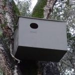 Barn owl box installed on tree. Santa Lucia Preserve.