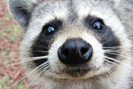 raccoon_cu