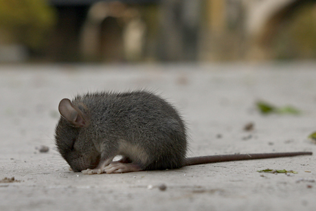 Poisoned rodents often die out in the open.