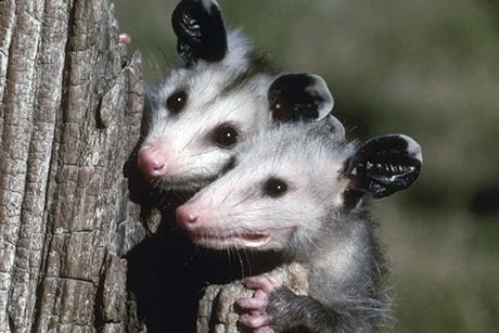 young_opossums