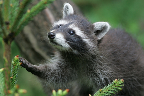 young_raccoon