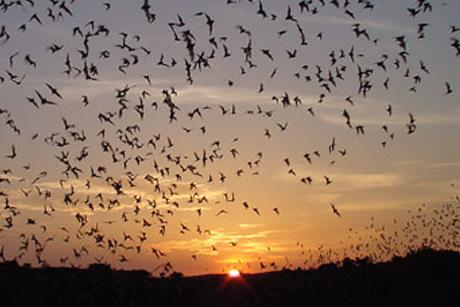 bats_flying