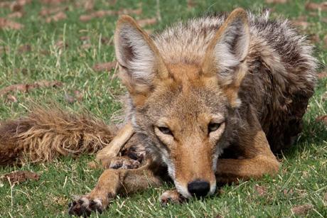 coyote_park