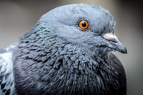 pigeoncu