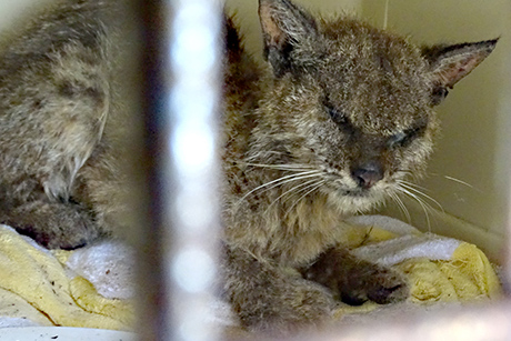 Bobcat suffering from mange.